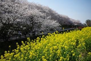菜の花畑と桜1