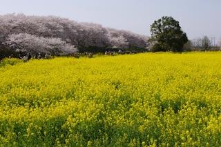 菜の花畑と桜2