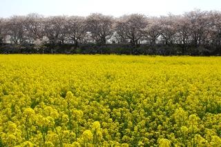 菜の花畑と桜3