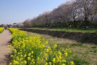菜の花畑と桜4
