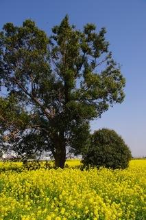 菜の花と木