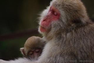 猿の母と子の風景(1)
