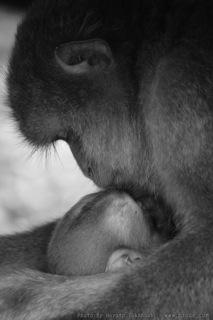 猿の母と子の風景(3)
