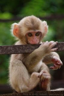 猿の子ども