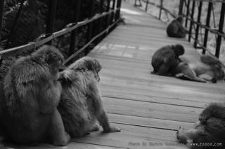 橋の上で毛づくろいをしている猿たち