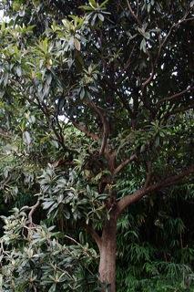 思い出のビワの木